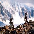 Antarctic Gentoo Penguins by Dennis Cox