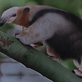 Anteater by Peter Hartog