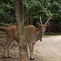Antelope Behind A Tree by Chris Flees