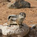 Antelope Ground Squirrel by Debby Richards