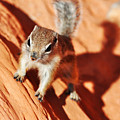 Antelope Ground Squirrel by Kyle Hanson