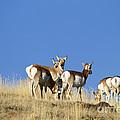 Antelope Herd   #0296 by J L Woody Wooden