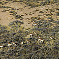 Antelope Herd Panorama  Signed   20x80 by J L Woody Wooden