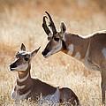 Antelope Love by Jack Bell