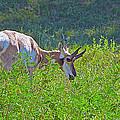 Antelope Near Wildlife Loop Road In Custer State Park-south Dakota- by Ruth Hager