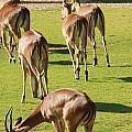 Antelopes by Tinjoe Mbugus
