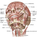 Anterior Neck And Facial Muscles by Alan Gesek