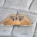 Antheraea Polyphemus by   Joe Beasley