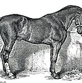 Antique Horse Drawing by Rose Santuci-Sofranko