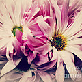Antique Pink And White Daisies by Miriam Danar