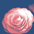 Antique Pink Camellia Flower by P S