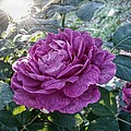 Antique Rose by Linda Unger