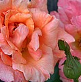 Antique Roses by Lori Streich