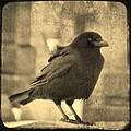 Antique Sepia Crow by Gothicrow Images