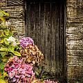 Antique Wooden Door And Hortensia by Dutourdumonde Photography