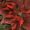 Antiqued Poinsettia by Matthew Winn