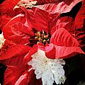 Antiqued Poinsettia by Robin Lewis