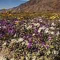 Anza-borrego Wildflowers 24 by Lee Kirchhevel