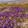Anza-borrego Wildflowers 26 by Lee Kirchhevel