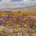 Anza-borrego Wildflowers 27 by Lee Kirchhevel