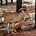 Aoudad Plus 2 by Tara Potts