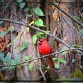 Appalachian Cardinal by Phil Penne
