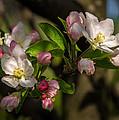 Apple Blossom 3 by Carl Engman