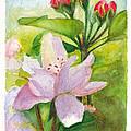 Apple Blossom And Buds by Dai Wynn