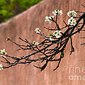 Apple Blossom Branch by Catherine Sherman