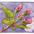 Apple Blossom Buds by Dai Wynn