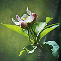 Apple Blossom by Ginger Wagner