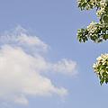 Apple Blossom In Spring Blue Sky by Matthias Hauser