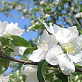 Apple Blossom by Kimberly Maxwell Grantier