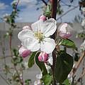 Apple Blossom by Lovina Wright