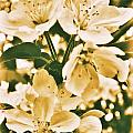 Apple Blossoms 2 by Chet B Simpson