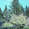 Apple Blossoms And Redwoods by Asha Carolyn Young