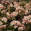 Apple Blossoms by Bethany Foster