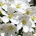 Apple Blossoms In Spring by Christine Stack