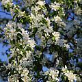 Apple Blossoms by Kellianne Hutchinson