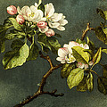 Apple Blossoms by Martin Johnson Heade