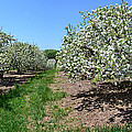 Apple Blossoms by Michelle Calkins