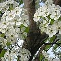 Apple Blossoms by Randi Shenkman