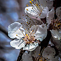 Apple Blossoms by Robert Bales