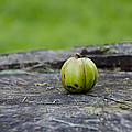 Apple Gourd by Bill Cannon