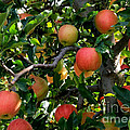 Apple Harvest - Digital Painting by Carol Groenen