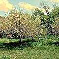 Apple Orchard by Elizabeth Tillar