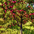 Apple Orchard II by Diana Powell