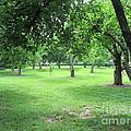 Apple Orchard - Kean University by Susan Carella