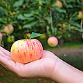 Apple Pick by Maria Dryfhout