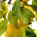 Apple Taste Of Summer 1 by Jenny Rainbow